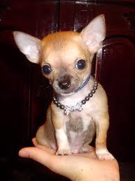 Mi Chihuahua Ladra A Todos Los Perros Uno Más En La Familia